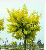 高度100cm的金叶榆小苗价格