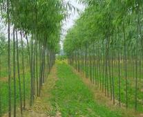 米径3公分速生柳小苗最低批发价格