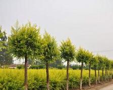 高度50cm的金叶榆小苗最低销售价格