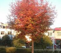 米径1cm的火炬树最低销售价格