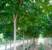 河北邯郸米径5公分白蜡树的批发价格
