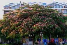 沧州园林工程用米径2cm合欢树价格