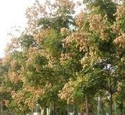 河北泊头城郊行道绿化用米径1公分栾树批发价格