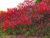 满洲里市米径5公分火炬树的批发报价
