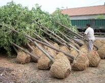 8-9公分白蜡树基地:河北定州地区价格稳中有升