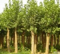 鄂尔多斯市行道树用米径5公分速生法桐批发报价