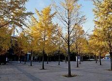内蒙古二连浩特市绿化用3公分银杏树的批发价格