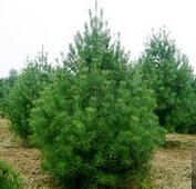 米径2cm的精品云杉树苗最低价格