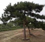高度40公分的油松小苗最低价格