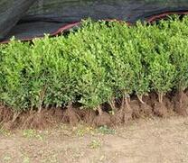高度15cm的小叶黄杨苗最低价格