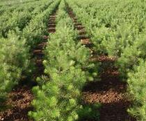 米径0.5cm,高度30cm的白皮松小苗最低销售价格