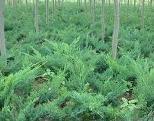 高度15cm的沙地柏小苗最低价格