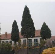 高度40cm的北京桧柏最低价格