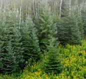 河北黄骅高度0.8m的云杉树价格
