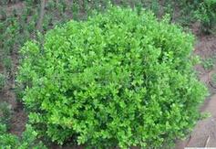 锡林郭勒盟绿化用70公分高小叶黄杨球价格
