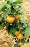 晚秋黄梨树苗最低价格
