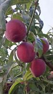 河北春雪桃树苗高度小于80cm的最低价格