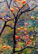 河北米径5cm的柿子树苗最低价格