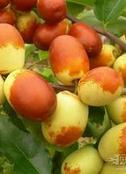 米径0.5cm的冬枣树苗最低报价