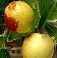 胸径0.8公分的枣树苗最低批发价格