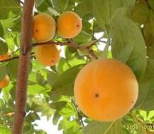 高度50cm的柿子树小苗价格