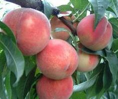 米径1公分的桃树苗最低批发价格