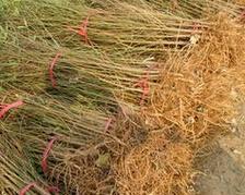 米径2公分的桃树苗最低销售价格