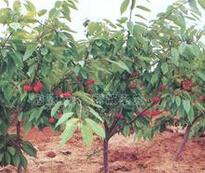 2公分樱桃树苗的批发价格