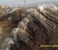 米径1cm的枣树苗最低售价