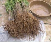 米径1公分石榴树苗最低价格