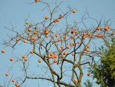 高度100cm的柿子树小苗最低价格