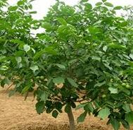 山西太原高度50cm的核桃树小苗报价