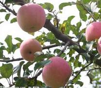 山西古交米径2公分苹果树苗报价