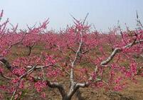 山西大同米径3公分桃树苗批发报价