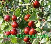 山西省长治市用米径2公分枣树苗的批发价格
