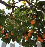 山西高平市高度120公分柿子树小苗的批发价格
