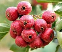 山西朔州公园绿化用2公分山楂树小苗批发价格