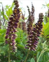 高度50cm的丛生紫穗槐最低销售价格