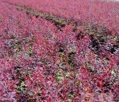 高度10公分的红叶小檗最低销售价格