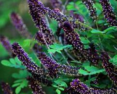 25cm高的紫穗槐小苗最低批发价格
