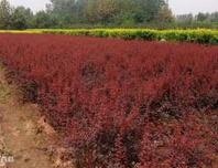 河北保定高度20公分红叶小檗的销售价格