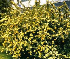 高度20公分,冠幅40cm的黄刺玫批发价格