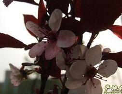 河北高度60公分,冠幅30公分的紫叶矮樱最低批发价格