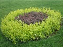 河北新乐市政公园绿化用高度30cm金叶莸批发价格