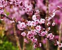 山西忻州1.5公分美人梅的批发报价