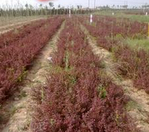 山西原平市高度35公分紫叶小檗批发报价