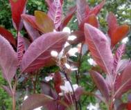 山西汾阳市高度80公分紫叶矮樱批发报价