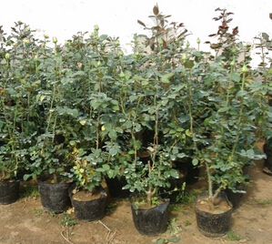 高度10cm的盆栽月季小苗产地批发