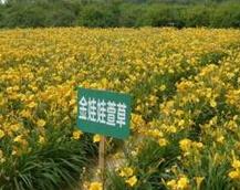 北京高度25公分的金娃娃萱草产地批发价格
