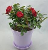 河北藁城高度20公分盆栽月季的批发价格